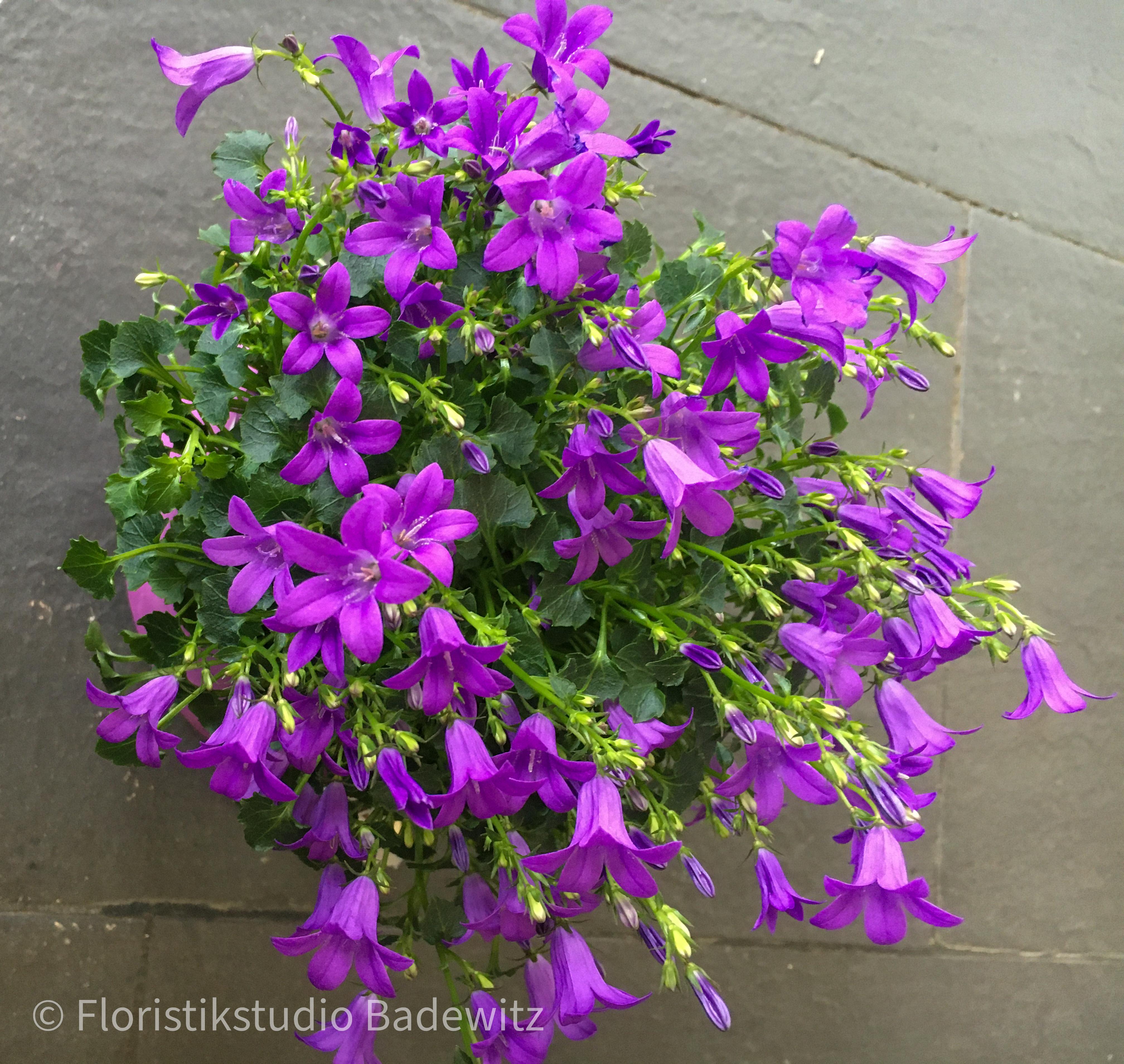 Campanula lila (Glockenblume)