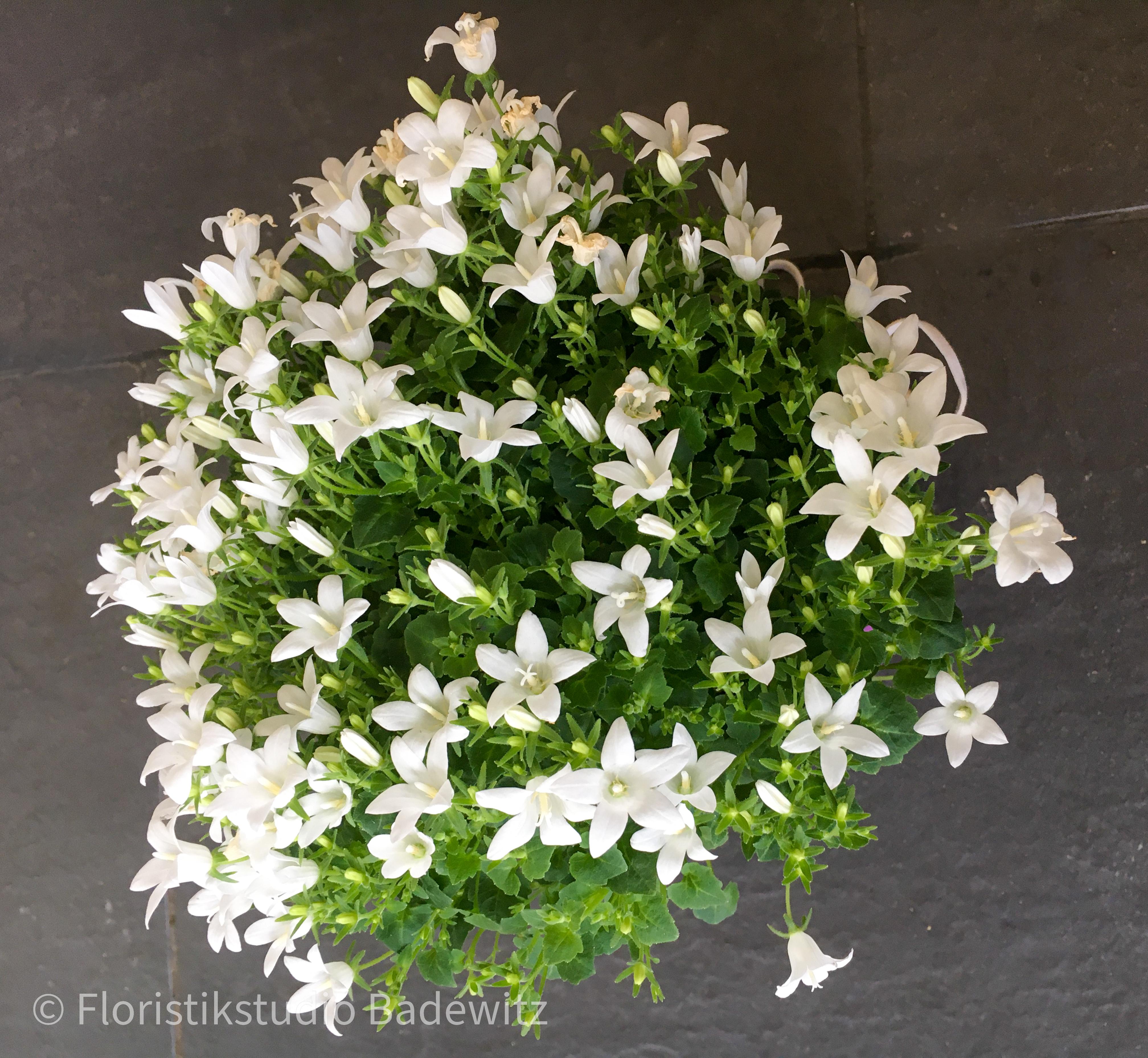Campanula weiß (Glockenblume)