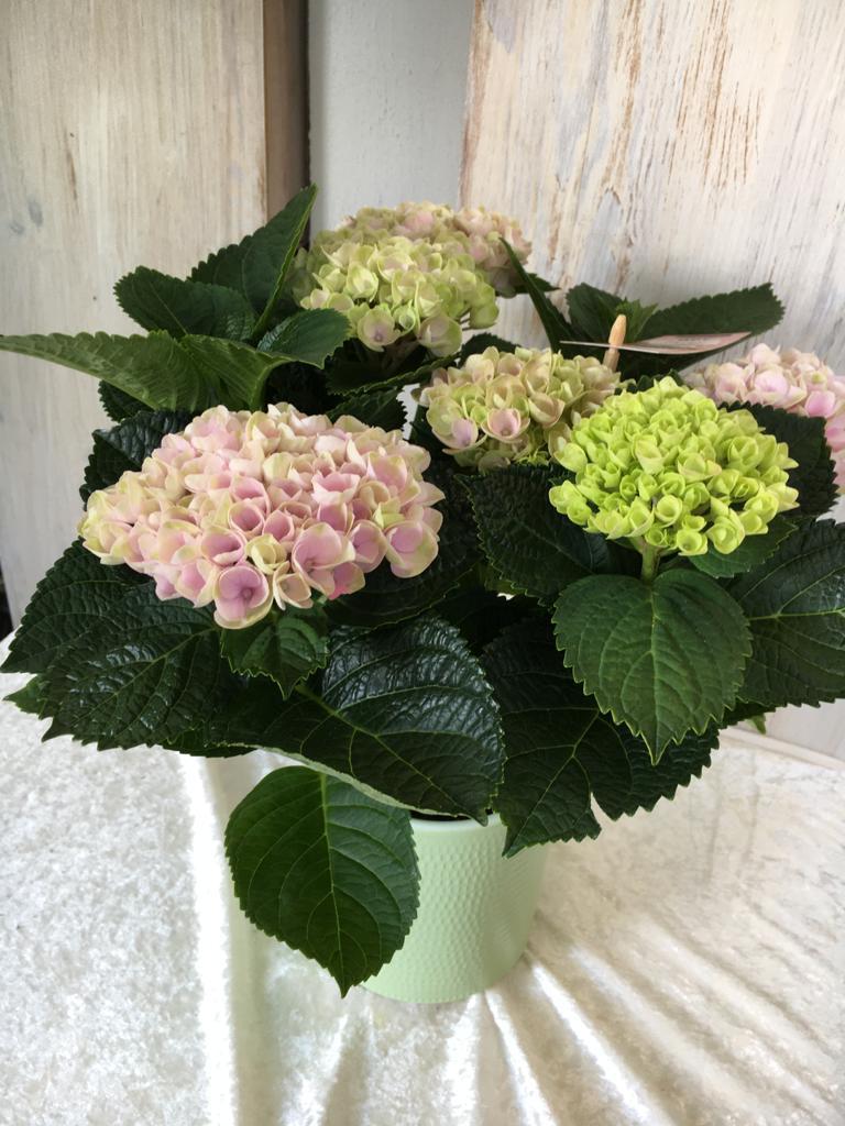 Hortensien - rosa