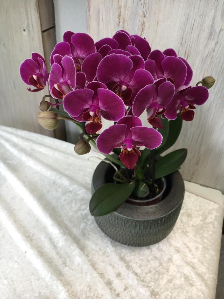 Orchidee lila klein